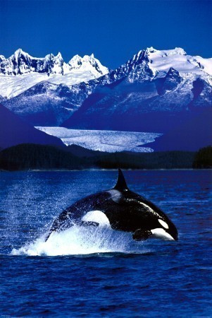 BBC: Wildlife Special - Killer Whale is similar to Moulin Rouge!.